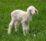 lamb standing in a pasture