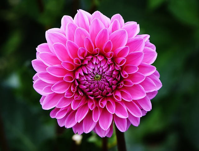 beautiful open pink flower on green outdoor background